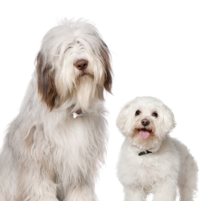 Old English Sheepdog and Bichon Frise