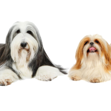 Old English Sheepdog and Shih Tzu