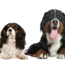 Cavalier King Charles Spaniel and Bernese Mountain Dog
